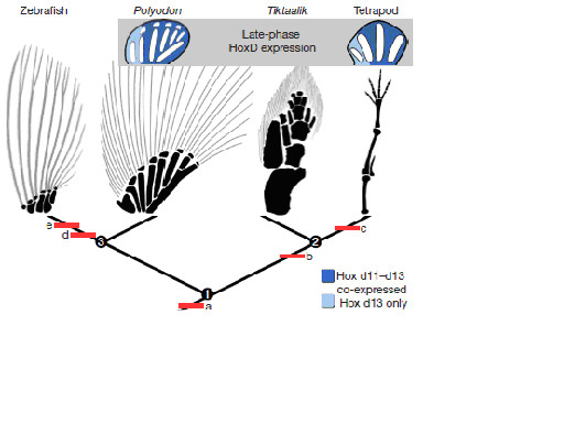 図4.付属肢発生後期段階のHoxd13の発現と付属肢形態
