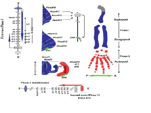 図14.四肢類の肢発生におけるHoxd遺伝子の発現