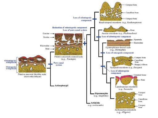 図8.四肢類に到る皮骨性表皮構造の変遷