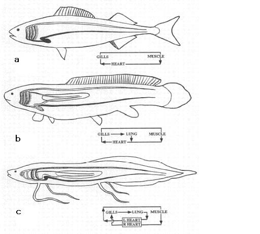図1.条鰭類、アミア、ハイギョの心肺系