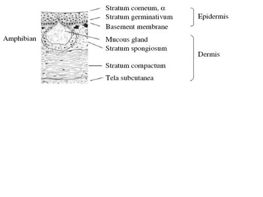 図2 両生類の上皮構造