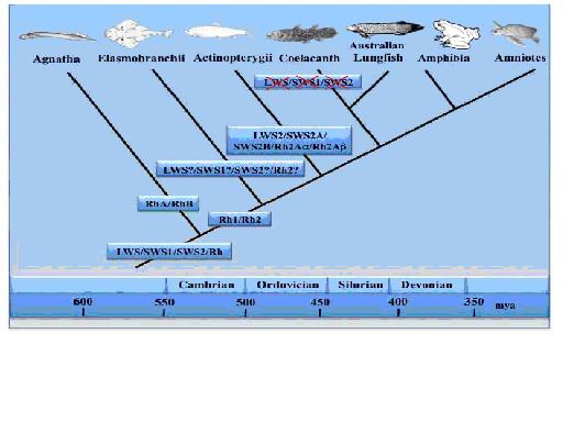 図1.オプシンの進化