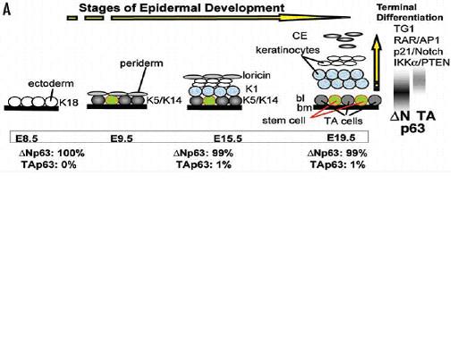 図5. 多層表皮構造の形成過程とp63の機能