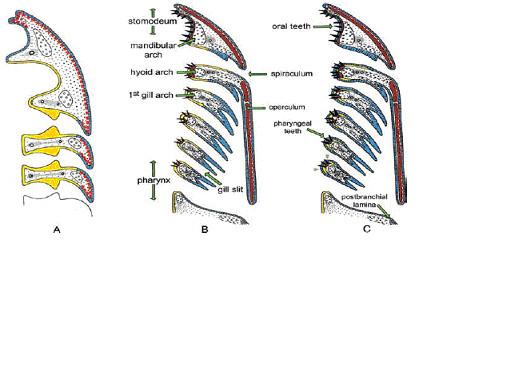 図3.鰓、鰓弓、鰓孔と歯形成の関係