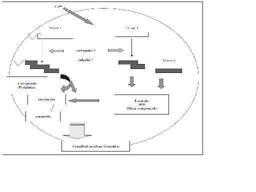 図11.CE形成におけるトランスグルタミナーゼTGaseの機能