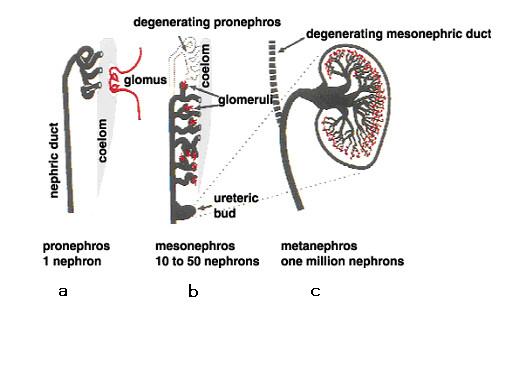 図2.羊膜類の発生段階における腎臓の形成過程