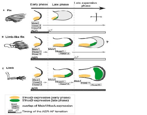 図12.条鰭、肉鰭及び肢におけるHoxAとMeisの発現状況とAER/AEF転換