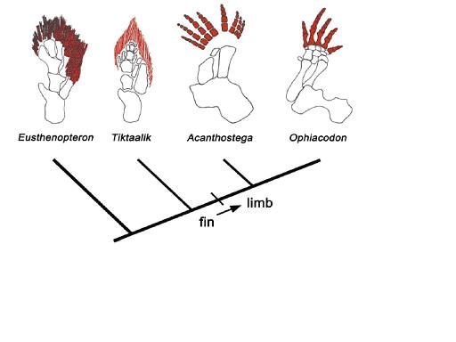図8.胸鰭から前肢への変遷