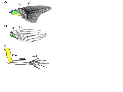 図3.脊椎動物の付属支骨格のモデル