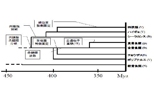 図4.脊椎動物の分岐と肺/鰾の位置