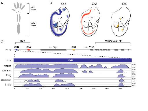 図13.HoxDエンハンサーの制御性