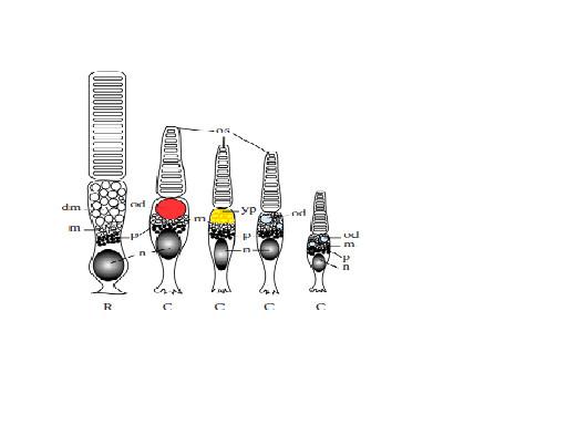 図2.ハイギョの5種の受光細胞