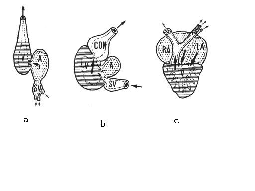 図2.魚類と両生類の心臓