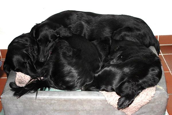 links Lissie, rechts Kate, oben drauf Pat, beim allmorgendlichen Kuschelschlafen (nein, wir haben nicht nur dieses eine Körbchen ;-), sie finden es so gemütlicher)