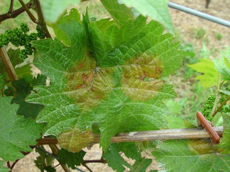 Quelle: http://www.vitipendium.de/Peronospora