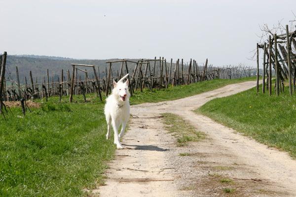 Ein Podenco auf einem Weinbergweg in Keltern