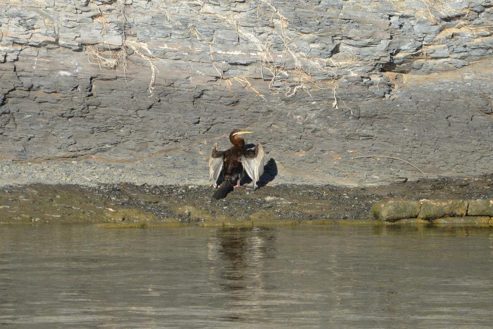 Ein Vogel beim Fähranleger von Parramatta