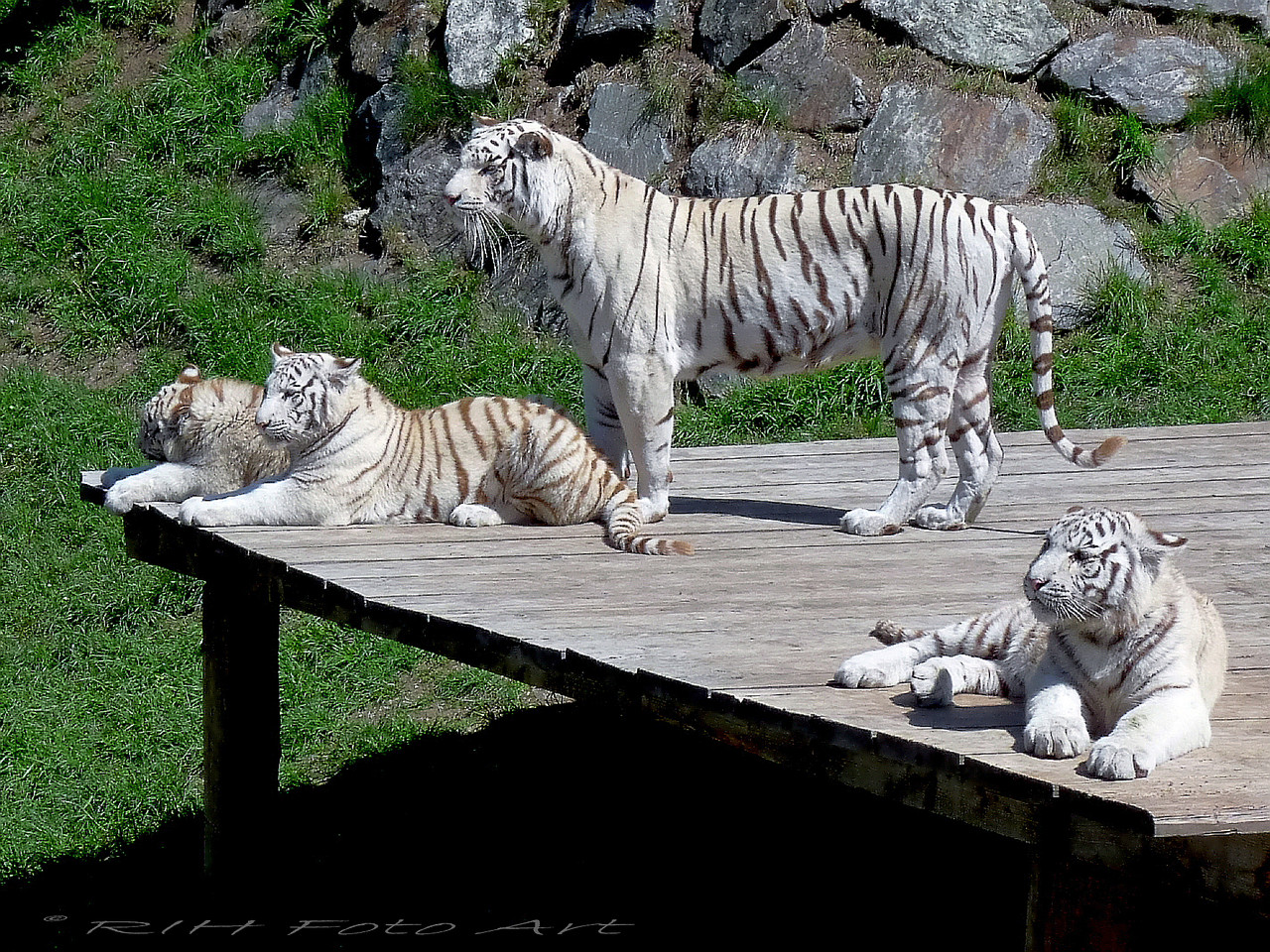 die Tigerin und ihre Drillinge