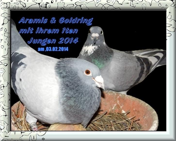 Musketier Aramis Nl 04-2097888 Blau Mit Goldring und sein Weibchen