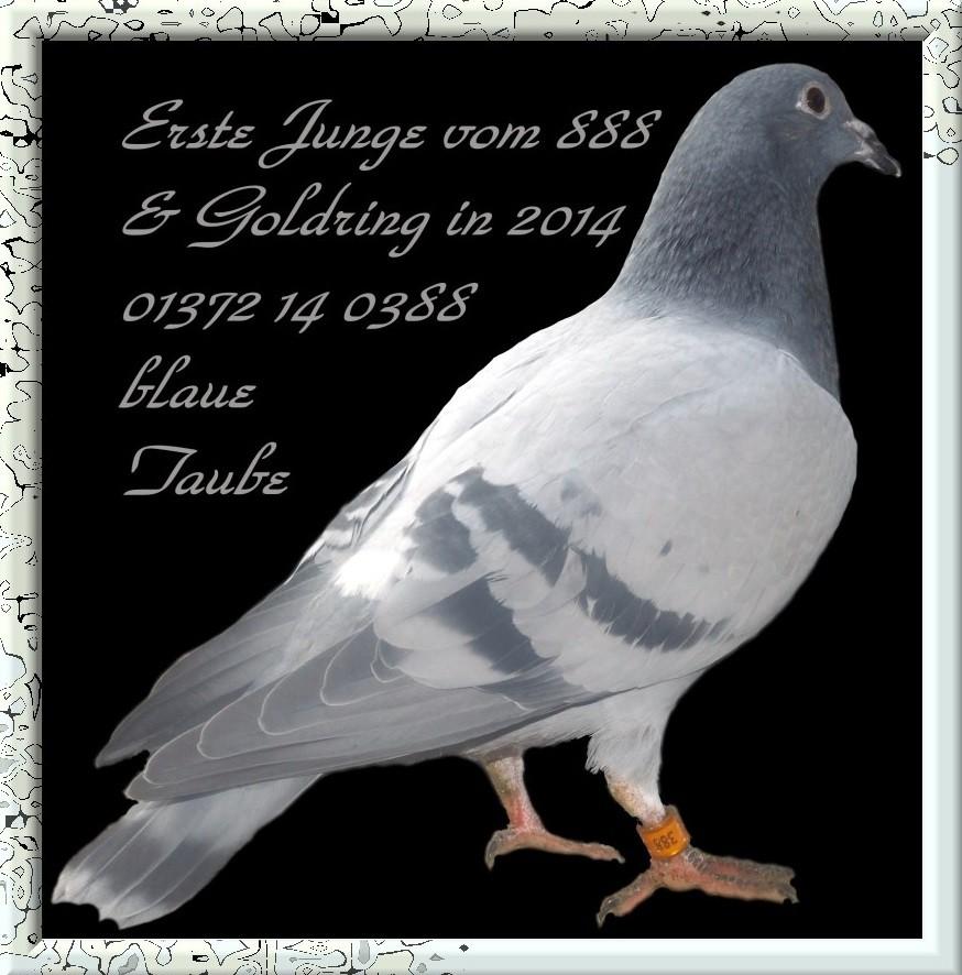 Junge Taube von NL 04-2097888=DV 01372-14-0388 Blau