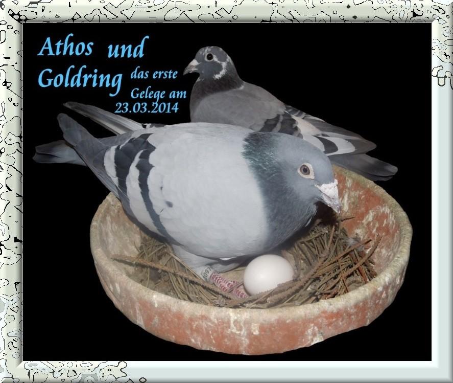 Athos mit Goldring erste Gelege am 23.03.2014.