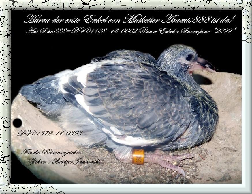 Der erste Enkel v.Musketier Aramis 888 DV 01372-14-0393 Geh scheck.