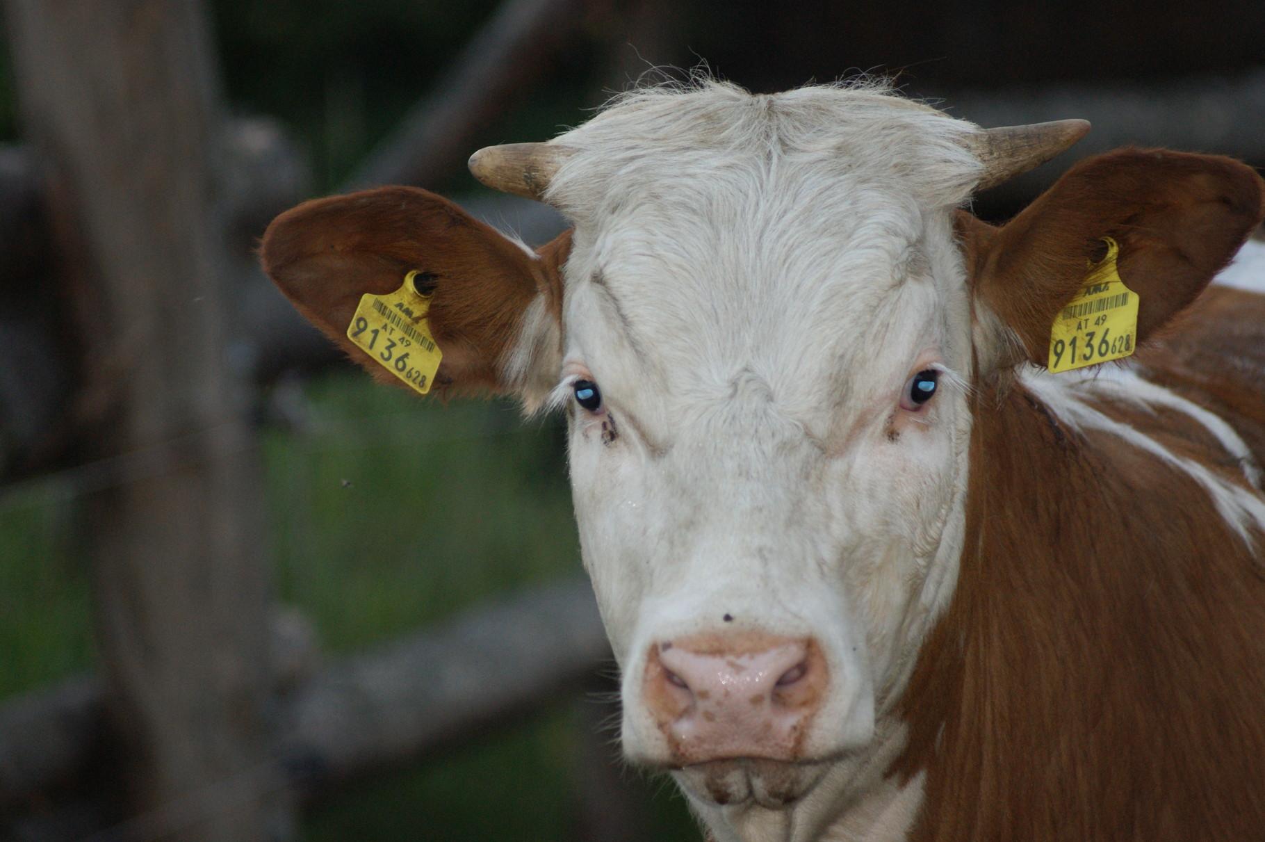 Unsere braven Rinder