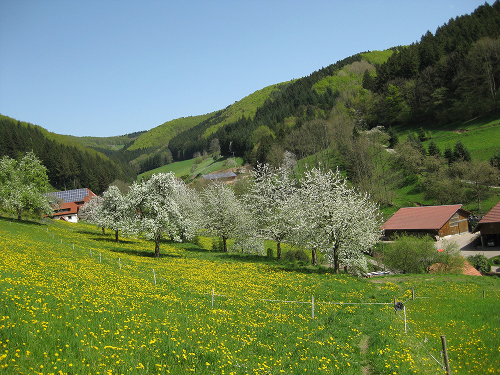 Vorderhof: Blühende Apfelbäume