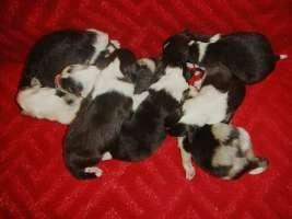 Woodsdogs Shelties: A-Wurf (8 Welpen)