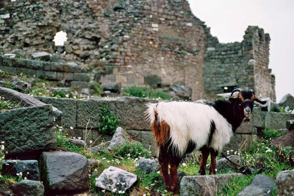 Pergamon, Ruinen mit Ziege