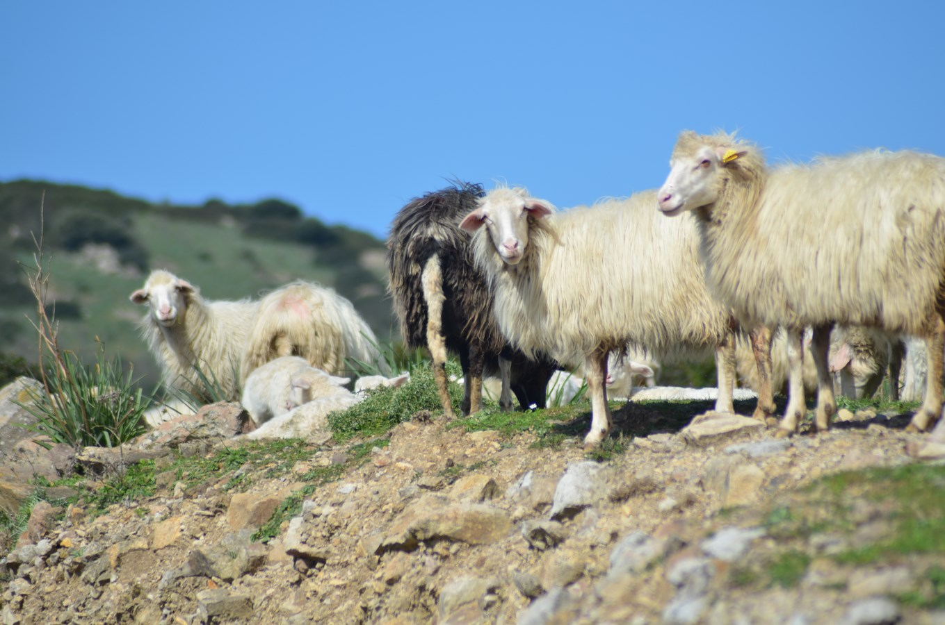 Drei Millionen Artgenossen auf Sardinien ...