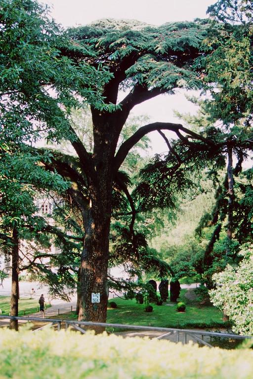 Jardin des Plantes, Libanonzeder von 1734 - älteste Zeder in Mitteleuropa