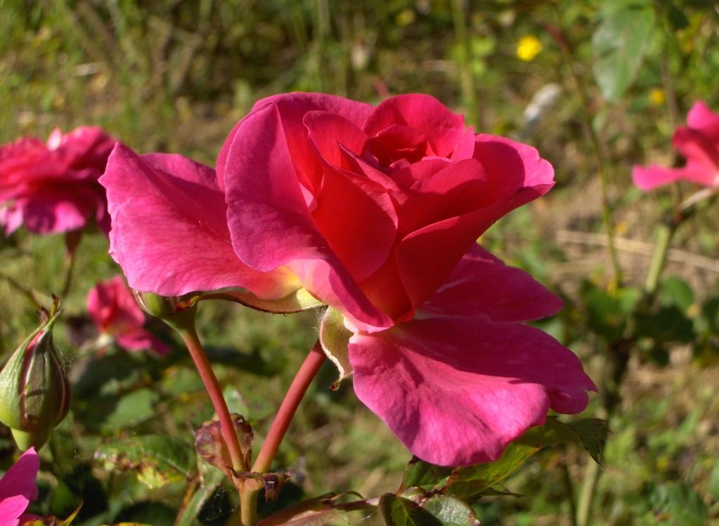 L'éclosion de la fleur de 'Chapi-Chapo' .
