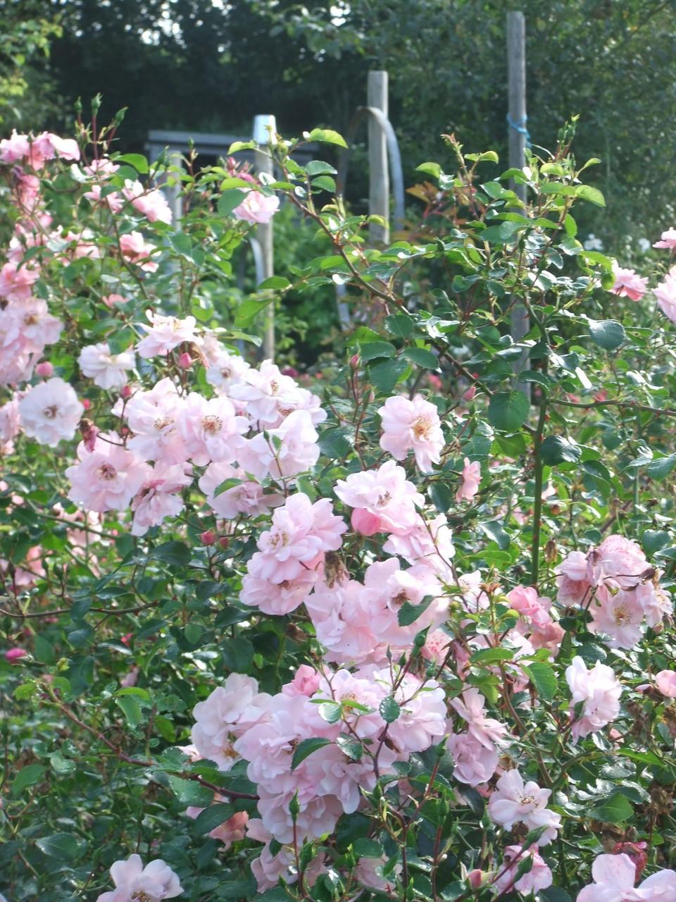 La floraison automnale exceptionnelle du rosier 'Les Yeux d'Elsa'
