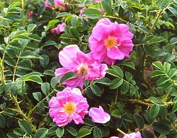 Hybride entre rugosa et moschata, le rosier de 'Jérôme' est doté de vigueur et floribondité.