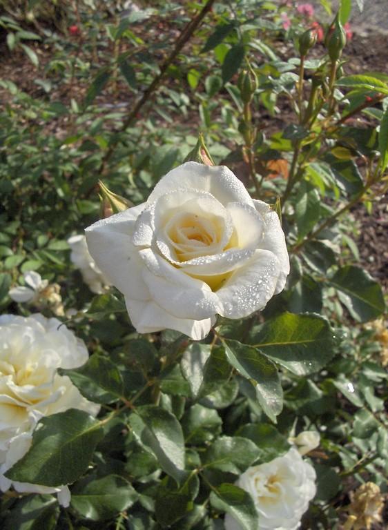 Des corolles naissantes pleines de fraîcheur chez le rosier 'Hélène Carrère d'Encausse'.