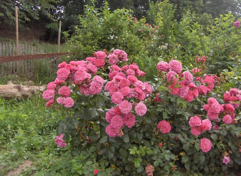 Un très bon rosier à massif.