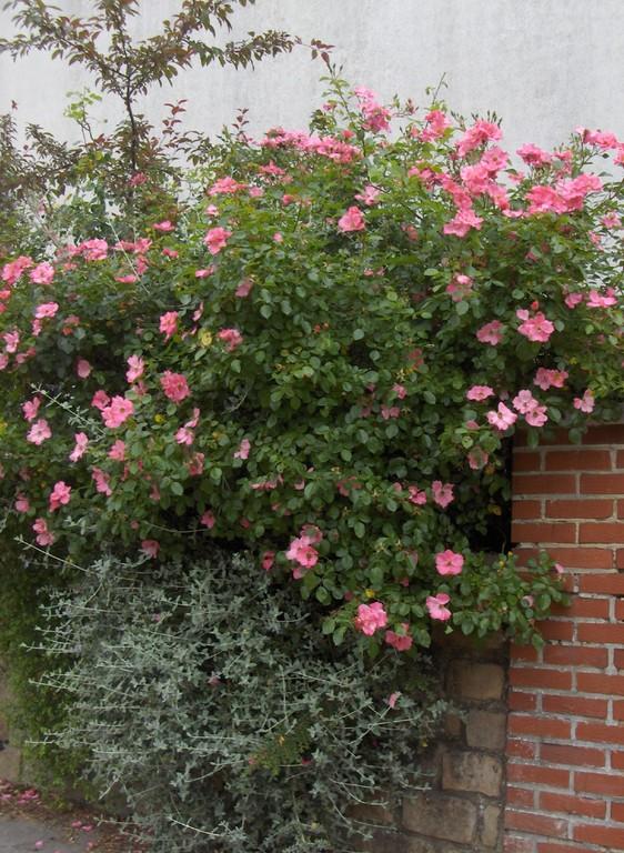 Arbuste de grand développement, le rosier 'Mela Rosa' peut également couvrir de grandes surfaces de talus.