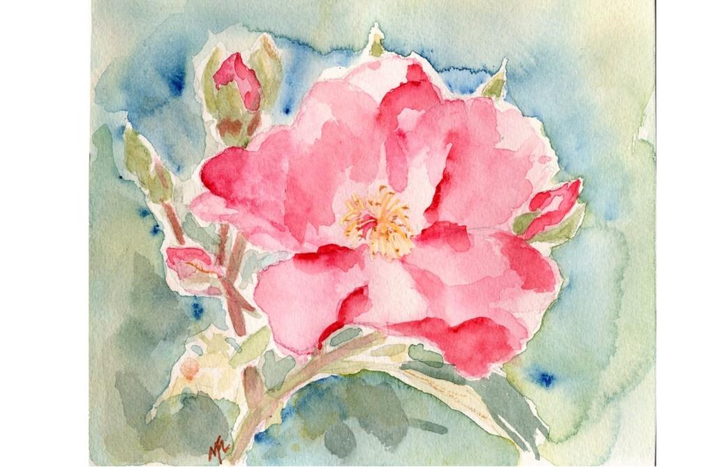 Aquarelle d'une rose de 'Mela Rosa'.