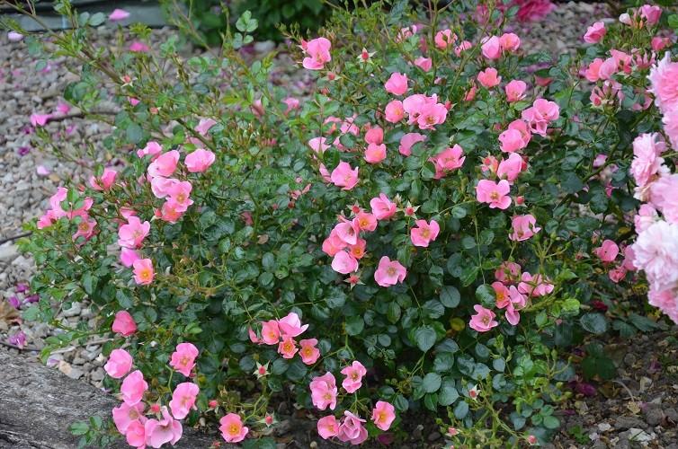 rosier 'Ti Puce d'Amour' creamelarosa