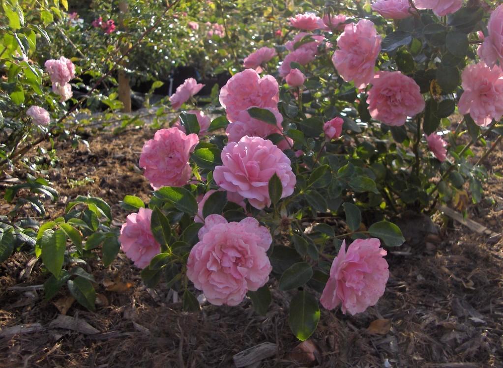 Le rosier 'Le Touquet' est doté d'une très grande et longue floribondité.