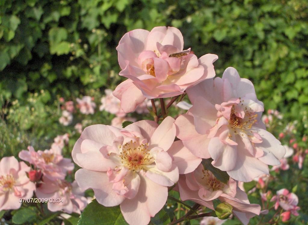 'Les Yeux d'Elsa' fleurit surtout en été ; il est bienvenu dans les jardins de vacances !