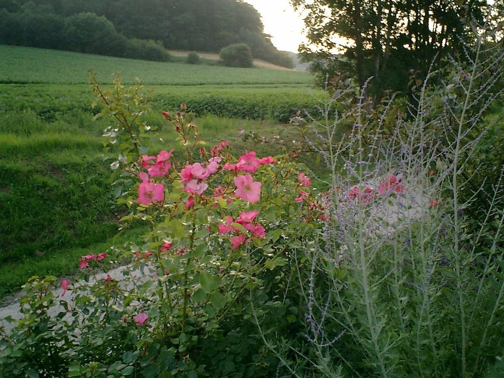 'Mela Rosa' est un rosier pour jardin au naturel !