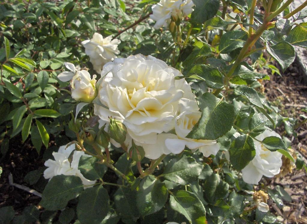 Même en plein épanouissement, les roses conservent toute leur tenue.