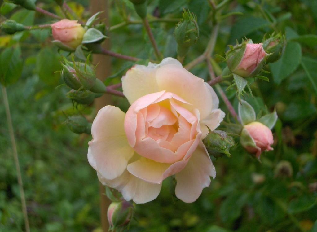 Rosée de lune by Creamelarosa