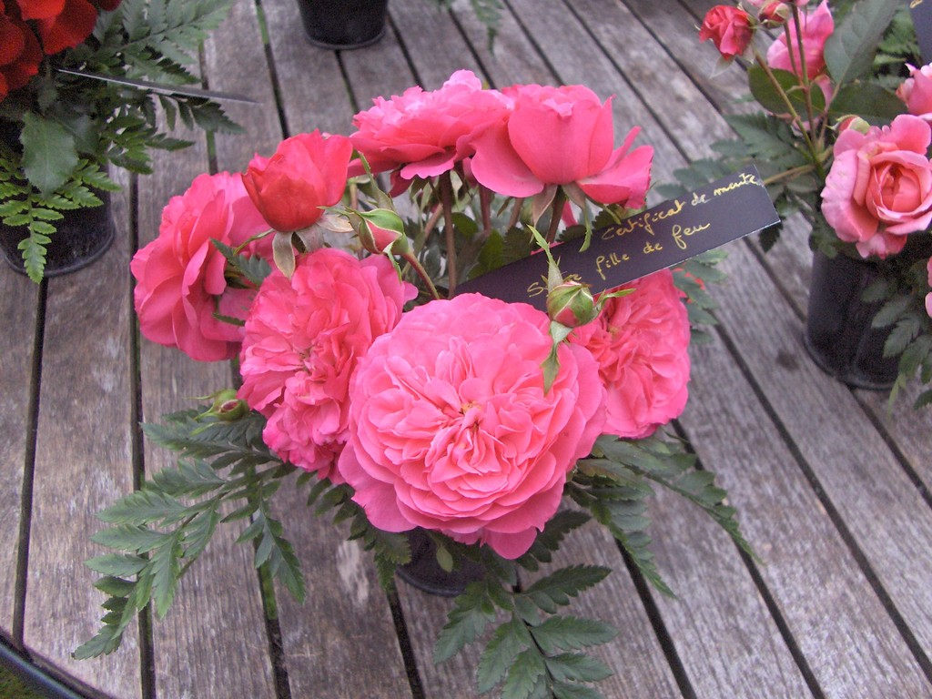 Le rosier 'Sylvie' a reçu le certificat de mérite au concours des roses remontantes d'Orléans.