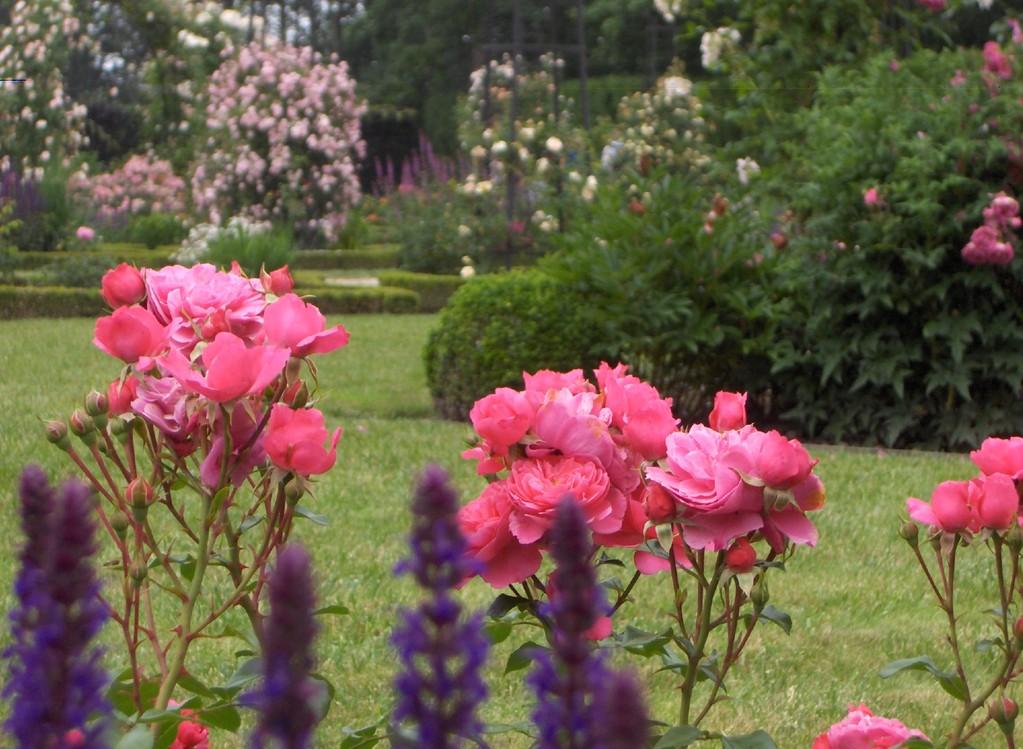 Le rosier 'Sylvie' est des plus généreux dans la Roseraie de l'Abbaye Royale de Chaalis.