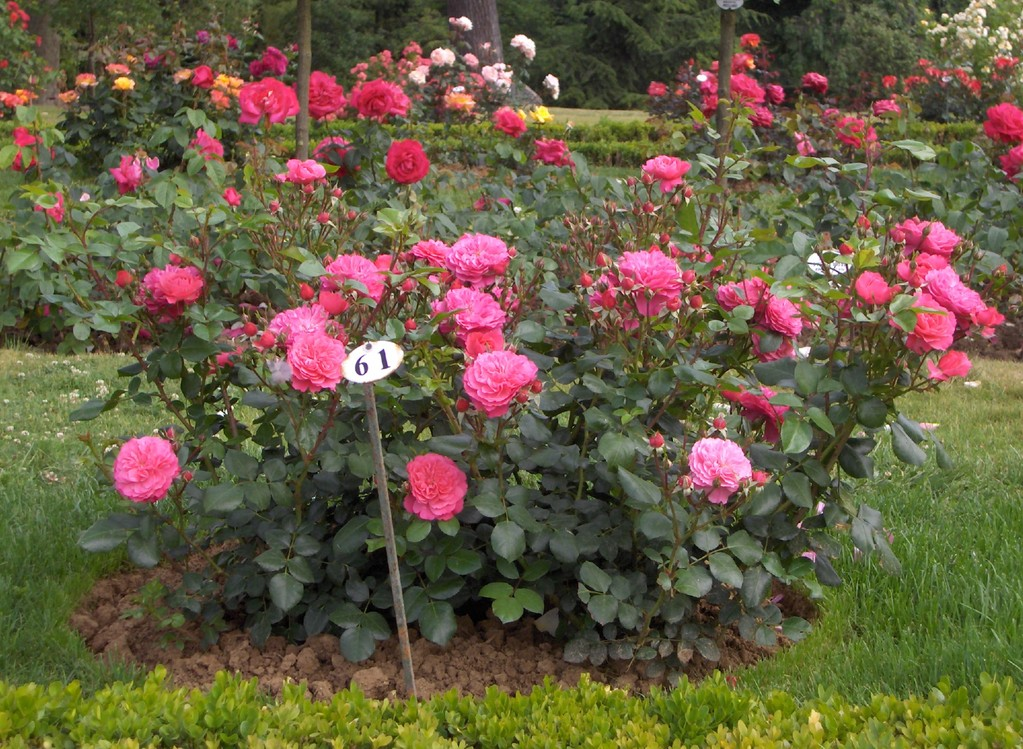 Le rosier 'Sylvie' à Bagatelle.