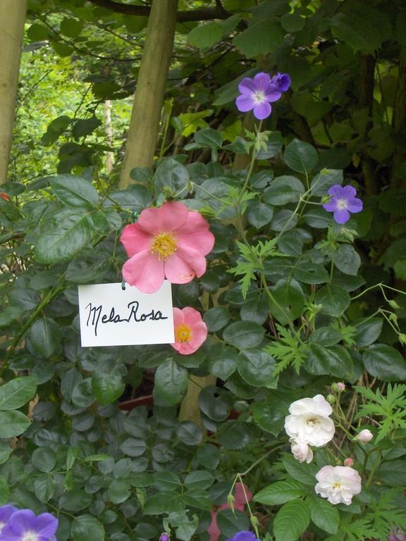 'Mela Rosa' est idéal à cultiver en orée de sous bois ou dans une haie.