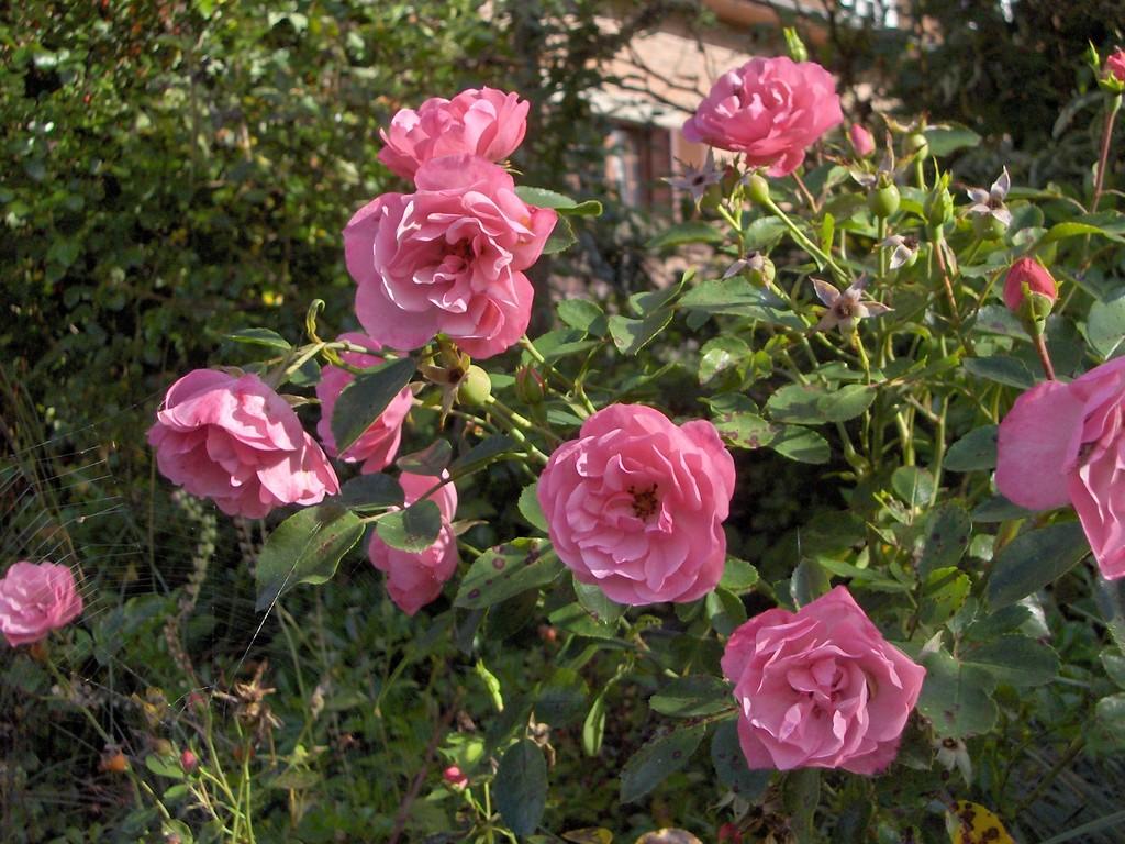 Le rosier 'Le Touquet' se développe très bien en façade maritime.